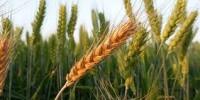 Genética e manejo correto no trigo economizam até R$ 400 por hectare