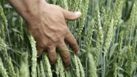 Plantio de trigo ganha ritmo no RS e já atinge 75% em algumas regiões, diz Emater