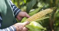 Conhecer as pragas do milho é um dos segredos para uma boa produtividade, por Paulo R. Garollo