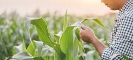 Produtor de milho inicia primeira safra de 2021 com novas perspectivas